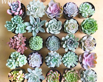 """2.5"""" Succulent Rosettes, 2.5"""" Succulents, Wedding Favors, Party Favors, Shower Favors, Succulent Rosettes"""