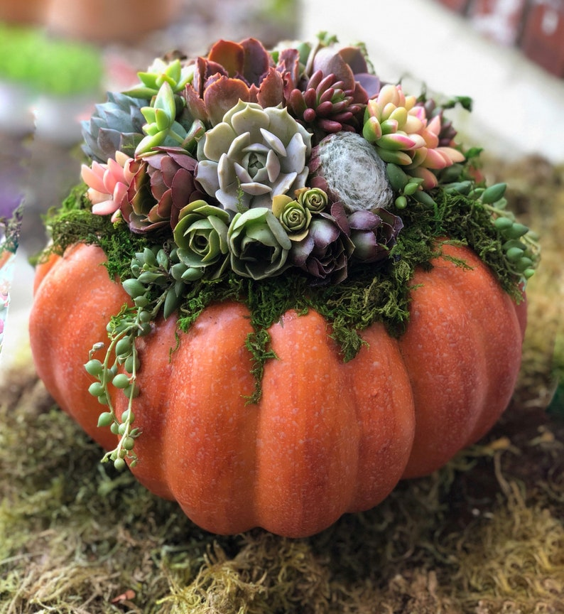 Faux Pumpkin Trimmed with Living Succulents Autumn image 0