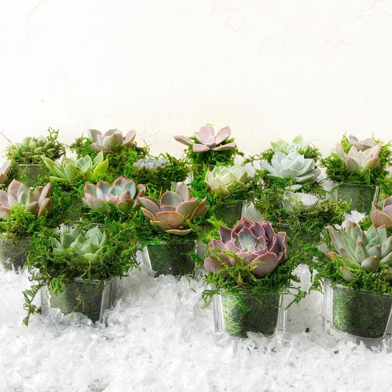 New Year/'s favors Wedding Favors glass cube planters Reception decor Christmas Decor 2 Succulent Rosettes shower favors party favors