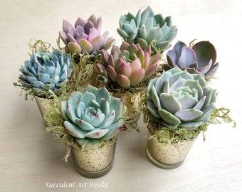 "2.5"" Succulent Rosettes in Mercury Glass Pots, Wedding Favors, Party Favors, Shower Favors, Succulent Rosettes, Wedding & holiday favors"