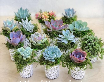 "2.5"" Succulent Rosette favors, 2.5"" Succulents in elegant glass with white lace pattern, Wedding Favors, Party Favors, Shower Favors,"