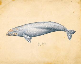 Vintage Gray Whale Print 8x10 P271