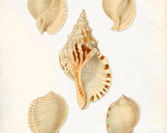 Vintage Sea Shells Print 8x10 P198