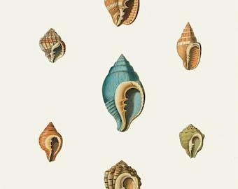 Vintage Sea Shells Print 8x10 P166