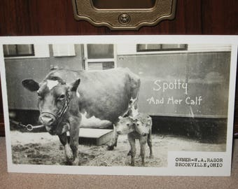 Spotty and Her Calf Postcard Owner W.A. Rasor Brookville OH Ohio Photo Postcard Two Headed Calf