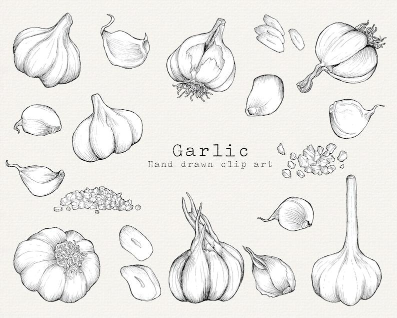 Garlic Clipart Vegetables Clipart Hand Drawn Food Clipart Kitchen Clipart Line Art Garlic Logo PNG Kitchen Decor Garden Clipart