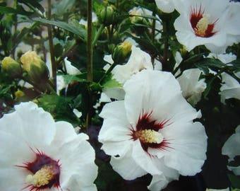 WHITE - Rose of Sharon Bush - Perennial Bush