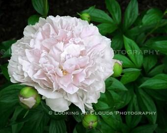 flower art photography, botanical art, pink Peony, nature photography, garden, pink flower,