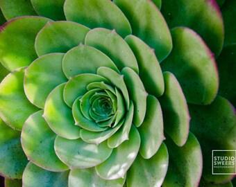 Fibonacci's Foliage  // 5x7 Travel Photography // Succulent Print