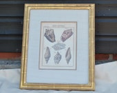 Antique engraving - Conchology by Friedrich Martini - Engraved by Andreas Happe - Framed