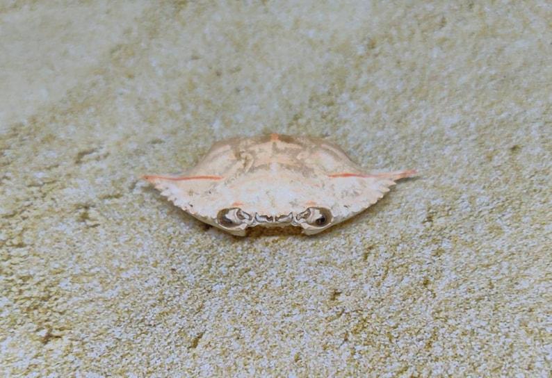 Natural Golden Crab Carapace with orange stripe~Beach Find~Palm Beach~Coastal~Marine shell