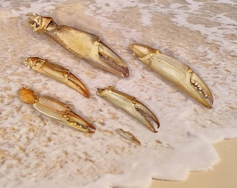 BLUE CRAB CLAW ~ Rhode Island Beach  find ~ Natural Crab Claw ~ Curiosity