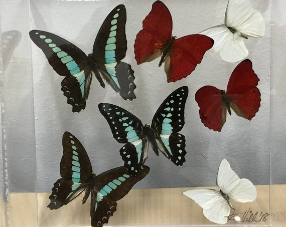 Agamemnon - one of a kind real butterfly gift