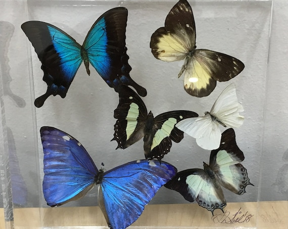 Papilio lorquinianus - Butterfly Art real