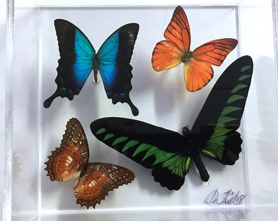 BROOKIANA!  -  Real butterflies in acrylic box display