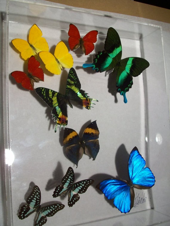 11x3x14 wall panel of real colorful butterflies display - style Blue Tips