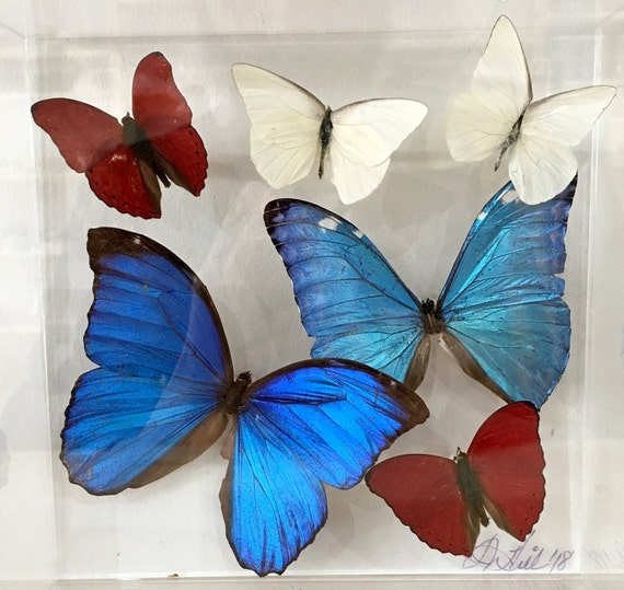 Morphos - Real butterflies in acrylic frame