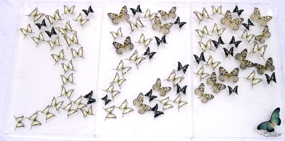 Weiskei - Three Panel Mural  wall hanging display made with real butterflies
