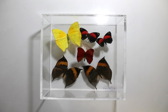 Full House II - One of a kind real butterfly panel
