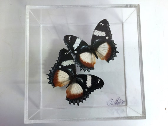 BOLINAS - Real butterflies in acrylic frame