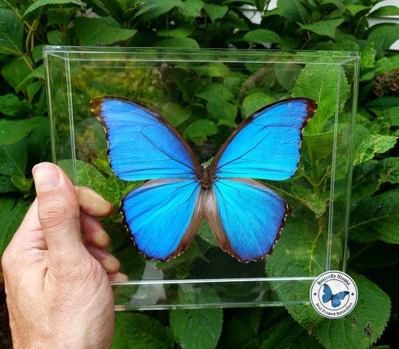3d Framed Real Blue Morpho Didius Butterfly 8x7 Acrylic Etsy