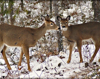 PHOTO Note Card, Doe and Fawn, Deer, Beautiful, Blank Note Card