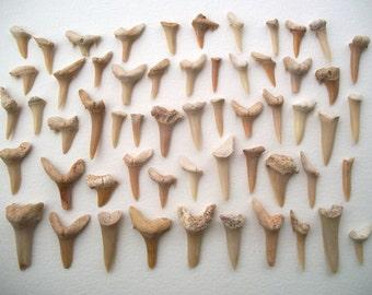 Lot of 50 Damaged Fossilized Shark Teeth