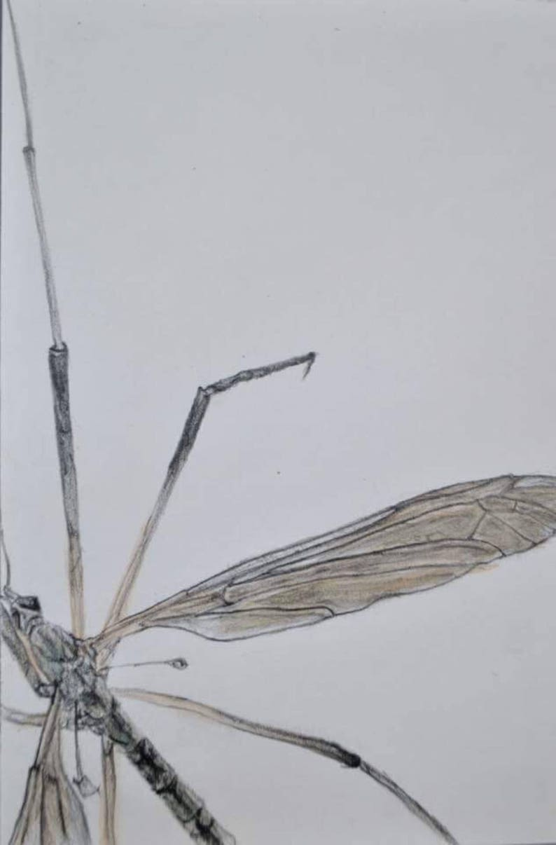 line drawing showing pattern on wings Framed crane fly drawing fly illustration pencil and watercolour study of a fly fly sketch framed
