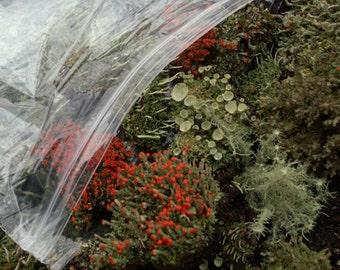 Large Terrarium Assortment Mix of British Soldier Pixie Cups Pityrea Lichen & Live Moss 1 Pint Fairy Gardens