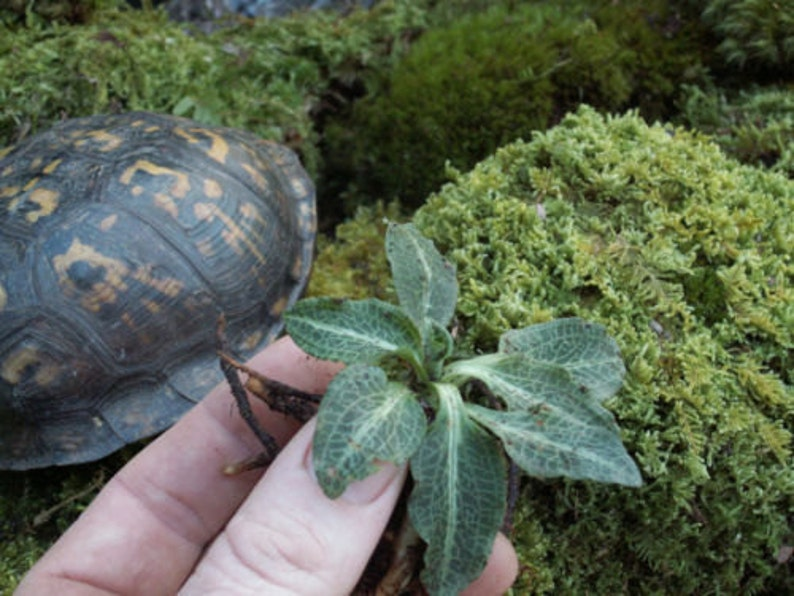 Jewel Orchid Live Moss Downy Rattlesnake Plantain For Etsy