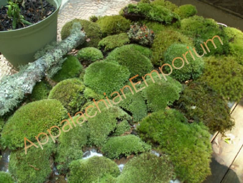 Super Mix Live Fresh Moss High Quality for Terrariums image 0