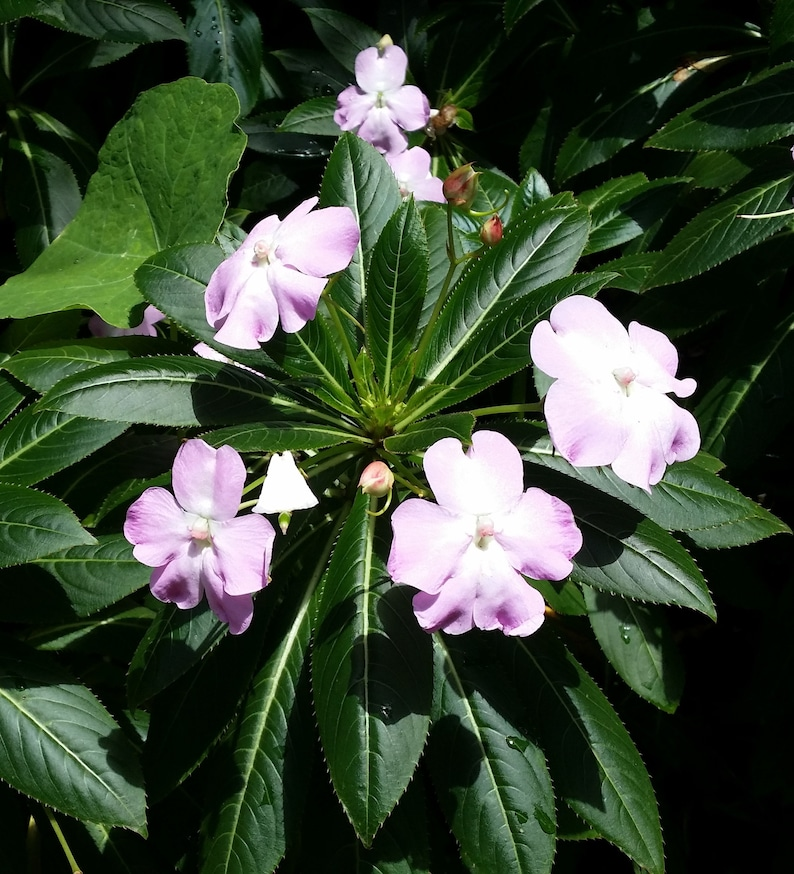 New Guinea Impatiens sodenii Poor Man/'s Rhododendron Pink Flowers Easy Hardy Perennial Deer Resistant Eight Shoots