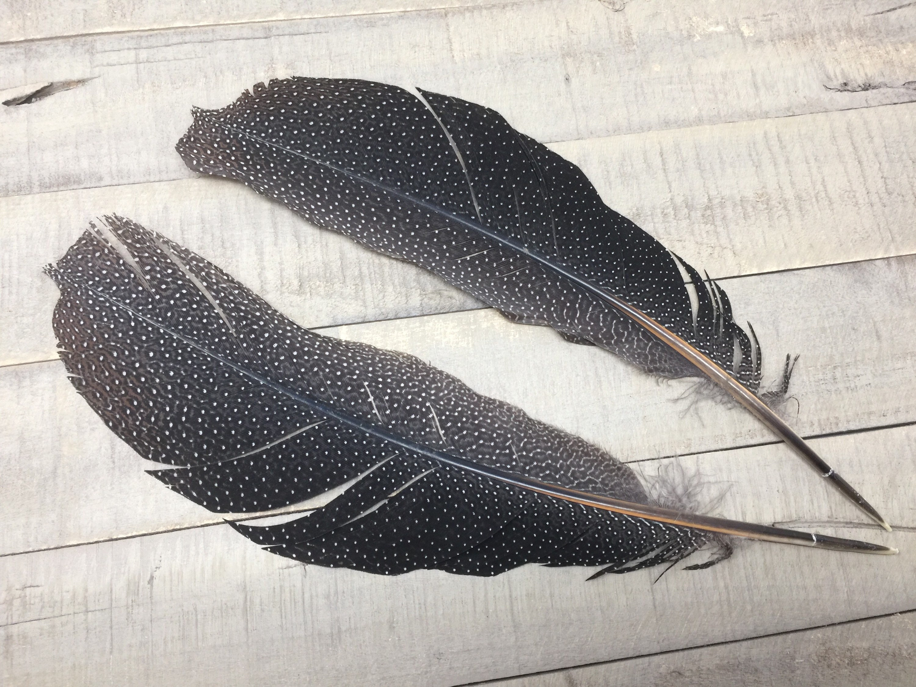 Beautiful Tail Feathers Argus Pheasant