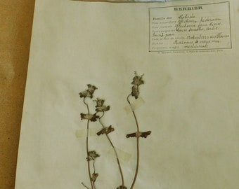 1930 French Herbarium Of Ground Ivy or Lierre Terrestre, Pressed Plant Collection Gathered 19th April 1930