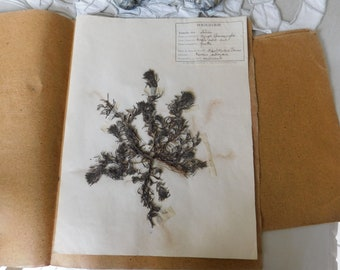 1930 French Herbarium Of Yellow Bugle or Ground Pine, Pressed Plant Collection Gathered 17th April 1930