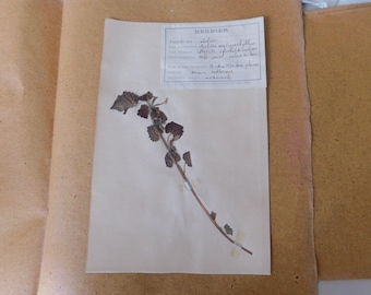 1930 French Herbarium Of Bastard Balm, Pressed Plant Collection Gathered 15th May 1930