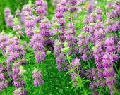 Bee Balm Lemon Herb Seeds, 15 Minimum Seeds, Bee Balm Herb Seed Sample Package,Melissa officinalis Herb Seeds