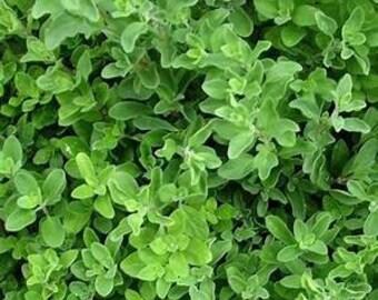 OREGANO ITALIAN Wild Marjoram 4000 seeds Origanum Vulgare