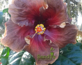 Cajun Hibiscus Plant Etsy