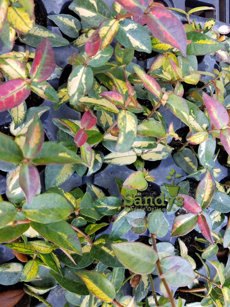 Jasmine Trachelosperumum Asiatic /'Tricolor Star/' ~Lot of 2~ Starter Plants
