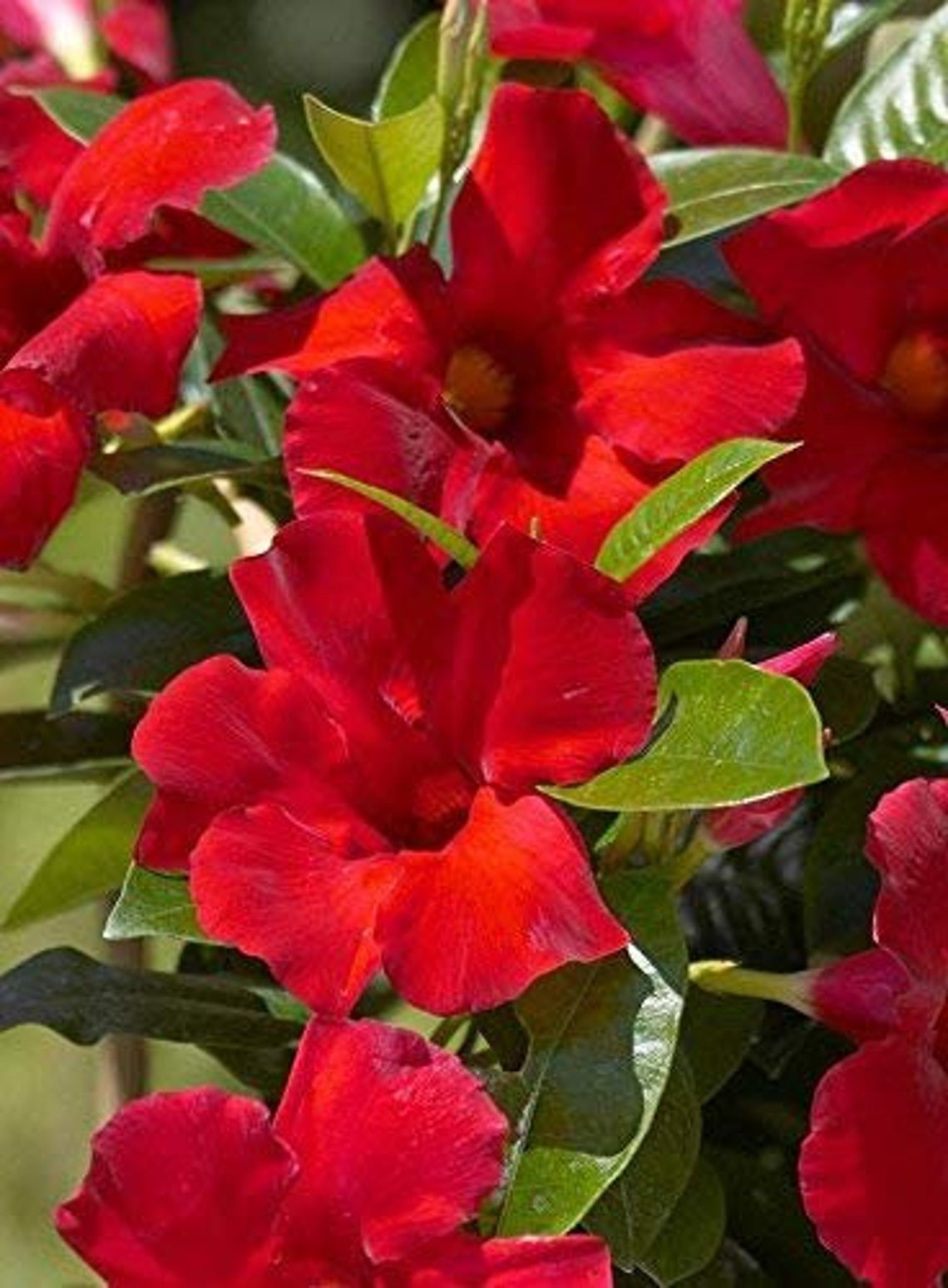 Mandevilla Tropical Plant Giant Crimson Red Flower Starter image 0