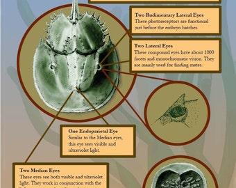 Horseshoe Crab Vision poster