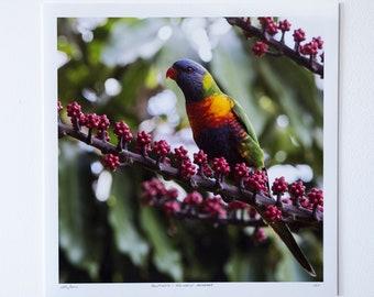 Australia - Rainbow lorekeet