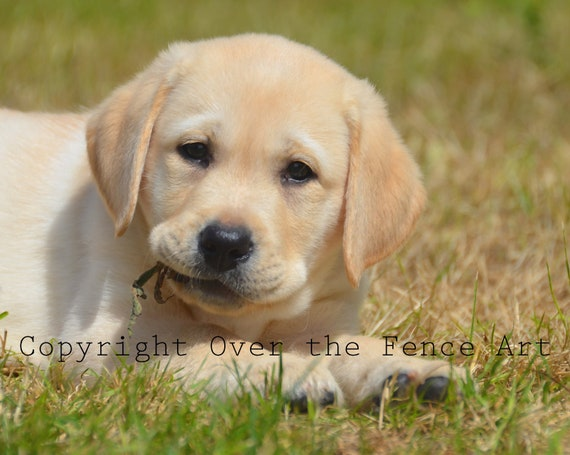 Dog Card YELLOW LABRADOR PUPPY Photograph Greeting Card Dog Portrait Pet  Portrait