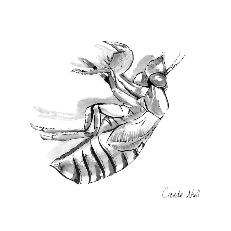 Cicada shell image 0