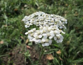 Yarrow Healing Cream