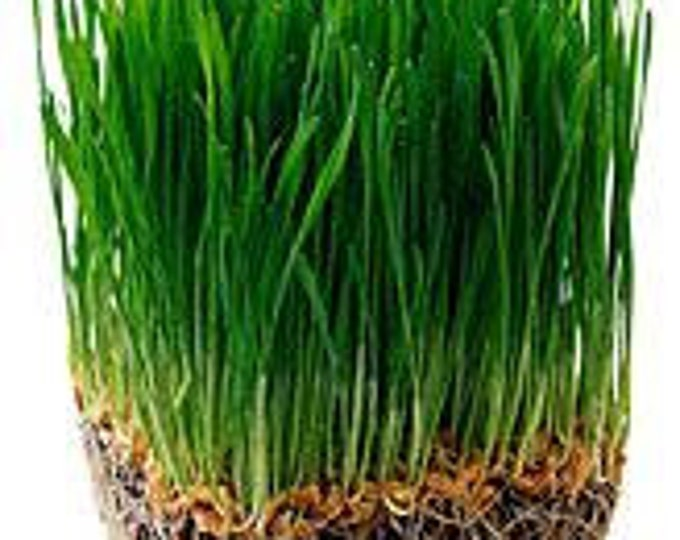 1/2lb Wheat Seed, Wheat Grass, for Fresh CatGrass, Wheat Juice 8 ounces