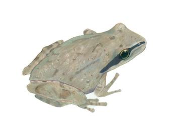 grey Chorus Frog (original)
