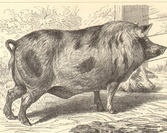 Pig breeds print   Etsy