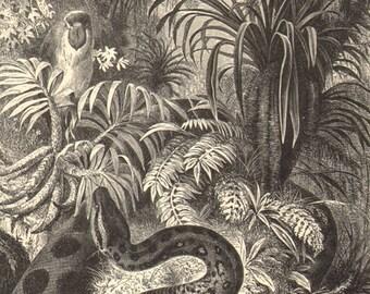 1892 Green Anaconda - Eunectes murinus Original Antique Engraving to Frame
